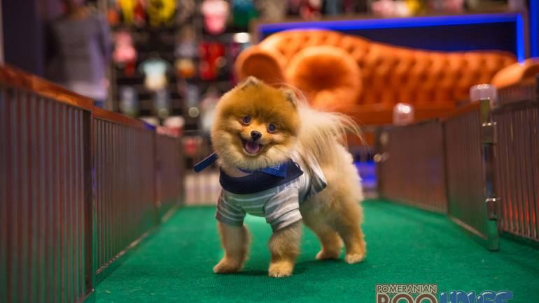 Pomeranian Boo – Cody