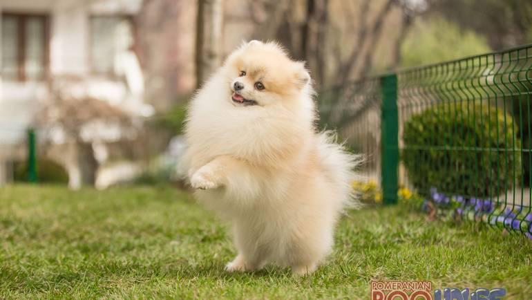 Pomeranian Boo – Jacob