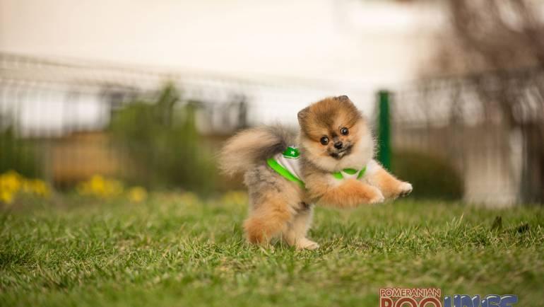 Pomeranian Boo – Keto
