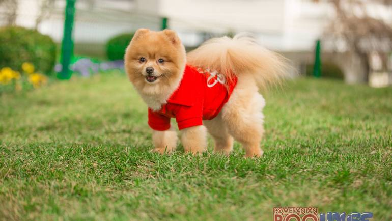 Pomeranian Boo – Talent