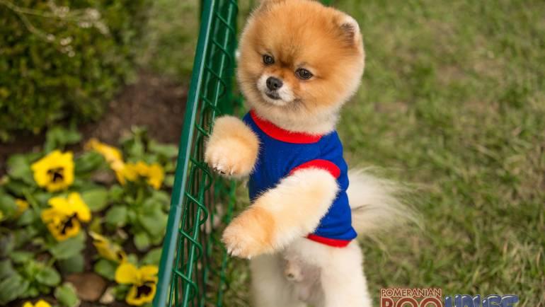 Pomeranian Boo – Terbo