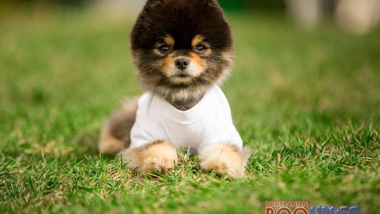 Pomeranian Boo – Zeus