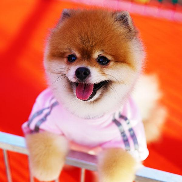 Pomeranian Boo – Chucky